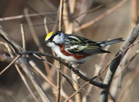 Warbler-IBA